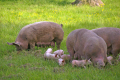 female pigs various piglets farmyard animals animalia natural history nature misc. sow pork bacon sty field united kingdom british