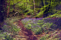 bluebells dimmingsdale staffordshire moorland countryside rural environmental uk moorlands churnett valley alton towers staffs england english great britain united kingdom british