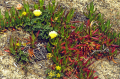 ice plant monterey peninsula california plants plantae natural history nature misc. flowers succulent desert arid san francisco franciscan californian usa united states america american