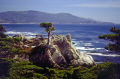 lone cypress monterey california american yankee travel pebble beach 17 mile drive carmel golf lonesome tree pacific point californian usa united states america