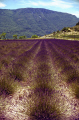 field lavender provence. provence cote azur riviera mediterranean south french european travel perfume converging disappearing point gorge grand canyon verdon provence-alpes-côte provence alpes côte provencealpescôte france la francia frankreich europe