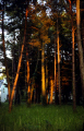 evening sunlight pines. trees wooden natural history nature misc. tree twilight gloaming sunshine shaft bretagne brittany france la francia frankreich europe european french