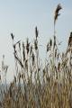 reeds growing reed bed sky background countryside rural environmental uk grass tall lots brown natural isle man manx england english great britain united kingdom british
