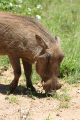 shot taken african warthog addo national elephant park eastern cape south africa animals animalia natural history nature misc. wildlife animal afrikaans