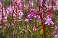 bright pink flowers taken day garden route south africa plants plantae natural history nature misc. colour color afrikaans african