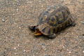 leopard tortoise captured addo eastern cape south africa testudinidae animals animalia natural history nature misc. reptile animal african afrikaans