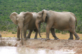 elephants addo elephant national park. african animals animalia natural history nature misc. africa wild herd south afrikaans
