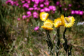 bright yellow flowers taken port elizabeth south africa plants plantae natural history nature misc. beautiful color colour afrikaans african