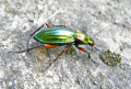 carabus auratus beetle insects arthropod insecta animals animalia natural history nature misc. bug carab green ground flightless correze limousin france la francia frankreich europe european french