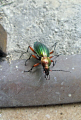 beetle carabus auratus insects arthropod insecta animals animalia natural history nature misc. bug carab green ground flightless correze limousin france la francia frankreich europe european french