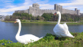 couple swans pembroke castle pembrokeshire wales uk welsh nationalities nations misc. pair país gales great britain united kingdom british