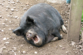 happy pig muck farmyard animals animalia natural history nature misc. laughing mouth farm boar staffordshire staffs england english great britain united kingdom british