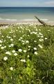 daisies growing clifftop overlooking overstrand beach near cromer norfolk british seaside coastal resorts leisure uk daisy wild flower england english great britain united kingdom