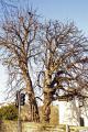 gnarled old trees near avon bridge evesham uk towns environmental arboreal trunk branches horse chestnut conker worcestershire england english great britain united kingdom british