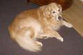 fourteen year old golden retriever dogs canidae canine animals animalia natural history nature misc. dog breed pedigree lincolnshire lincs england english great britain united kingdom british