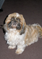 year old shihtzu dogs canidae canine animals animalia natural history nature misc. shitsu dog breed pedigree lincolnshire lincs england english great britain united kingdom british