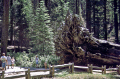 fallen giant mariposa grove big trees near yosemite np california wooden natural history nature misc. national park gigantus tree redwood roots woods timber forest californian usa united states america american