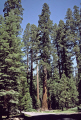 redwoods mariposa grove big trees near yosemite np california wooden natural history nature misc. national park gigantus tree redwood roots woods timber forest californian usa united states america american
