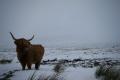 highland cow rannock moor.scotland moor scotland moorscotland animals animalia natural history nature misc. higland highlands islands scotland scottish scotch scots escocia schottland great britain united kingdom british