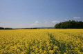 balado summer.scotland summer scotland summerscotland countryside rural environmental uk rapeseed field perth kinross perthshire scotland scottish scotch scots escocia schottland great britain united kingdom british
