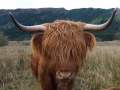 highland cow animals animalia natural history nature misc. argyll bute argyllshire scotland scottish scotch scots escocia schottland great britain united kingdom british