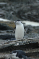 adult chinstrap penguins pygoscelis antarctica signy island south orkney isles spheniscidae animals animalia natural history nature misc. antarctic wildlife birds nesting polar antarctican