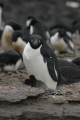 adult adelie penguin chicks pygoscelis adeliae signy island south orkney isles penguins spheniscidae animals animalia natural history nature misc. antarctic wildlife birds nesting antarctica polar antarctican