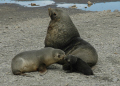 family fur seals new born pup bird island south sandwich isles mammals mamalian marine life underwater diving antarctic wildlife birds nesting antarctica polar antarctican