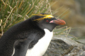 adult rock hopper penguin eudyptes chrysocome bird island south sandwich isles penguins spheniscidae animals animalia natural history nature misc. antarctic wildlife birds nesting antarctica polar antarctican