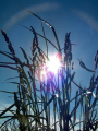 summer fields sky natural history nature misc. grass paisley renfrewshire scotland scottish scotch scots escocia schottland great britain united kingdom british