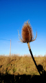 thistle dungeness plants plantae natural history nature misc. england blue winter english great britain united kingdom british