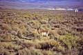 american pronghorn antelope spotted prairie utah. animals animalia natural history nature misc. antilocapra americana deer wildlife usa utah united states america
