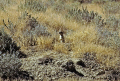 prairie dog roadside utah animals animalia natural history nature misc. sage brush grassland cynomys colony sentry alert lookout usa united states america american