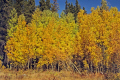 aspen turning early autumn rocky mountain national park colorado trees wooden natural history nature woodland yellow russet orange fall colours colors forest np united states american