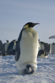 emperor penguin aptenodytes forsteri chick halley bay antarctica. penguins spheniscidae animals animalia natural history nature misc. bird antarctica polar united kingdom british