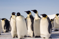 group emperor penguins aptenodytes forsteri halley bay antarctica. spheniscidae animals animalia natural history nature misc. penguin bird antarctica polar united kingdom british
