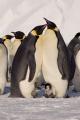 emperor penguins couple chicks aptenodytes forsteri halley bay antarctica. spheniscidae animals animalia natural history nature misc. penguin bird antarctica love polar united kingdom british