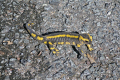 european salamander salamandra reptiles reptilia reptilian animals animalia natural history nature misc. reptile lizard newt correze limousin france la francia frankreich europe french