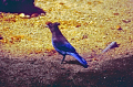 stellar jay yosemite national park birds aves animals animalia natural history nature misc. cyanocitta stelleri ornithology california californian usa united states america american