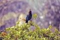 stellar jay yosemite national park birds aves animals animalia natural history nature misc. cyanocitta stelleri ornithology california californian usa united states america american