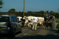 cows blocking road rural britain countryside rustic pastoral environmental bovine dairy milking cornwall cornish england english angleterre inghilterra inglaterra united kingdom british