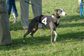 whippet racing sports sporting cornwall cornish england english angleterre inghilterra inglaterra united kingdom british