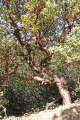 madrone tree mt tamalpais. trees wooden natural history nature misc. marin peninsula county headlands california shrub manzanita strawberry arbutus menziesii californian usa united states america american