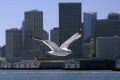 seagull set san francisco skyline taken tiburon ferry. california american yankee travel bay area embarcadero city office sea bird ornithology laridae larus californian usa united states america