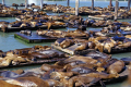 sea lions san francisco pier 39 california american yankee travel bay area fisherman warf waterfront marina seal pinniped zalophus californianus californian usa united states america