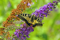 swallowtail butterfly papilio machaon buddleia bloom insects arthropod insecta animals animalia natural history nature misc. lepidoptera ditrysia rutulus papilionidae correze limousin france la francia frankreich europe european french