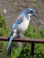 western scrub jay big sur california. birds aves animals animalia natural history nature misc. cabrillo highway pacific coast pch ornithology bird aphelocoma californica california californian usa united states america american