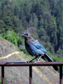 stellar jay big sur california. birds aves animals animalia natural history nature misc. ornithology bird cyanocitta stelleri california californian usa united states america american