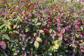 fall colors poison oak. taken point lobos state park california. plants plantae natural history nature misc. autumn rhus diversiloba colours toxic itching scratching rash blisters california californian usa united states america american