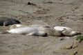 elephant seals san simeon beach california big sur. flippers marine life underwater diving mirounga ngustirostris abrillo ighway pacific coast pch californian usa united states america american